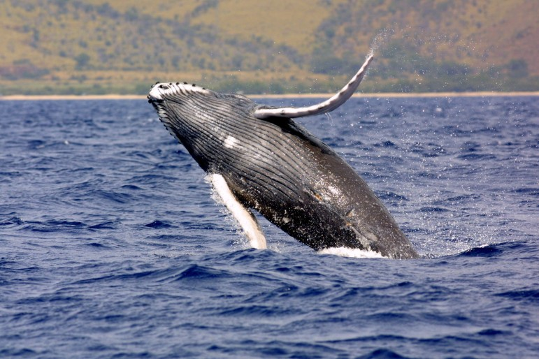 Are Whales an endangered species?